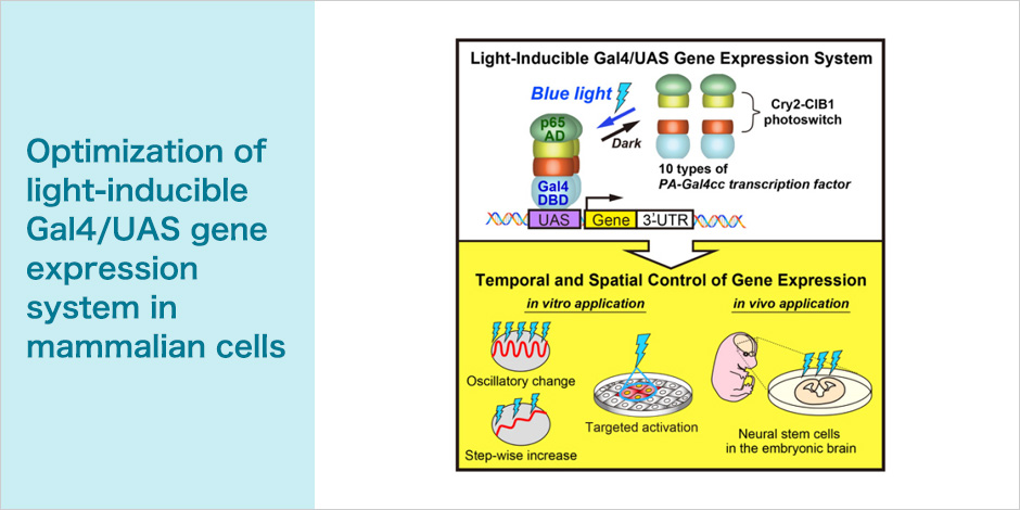 Optimization of light-inducible Gal4/UAS gene expression system in mammalian cells