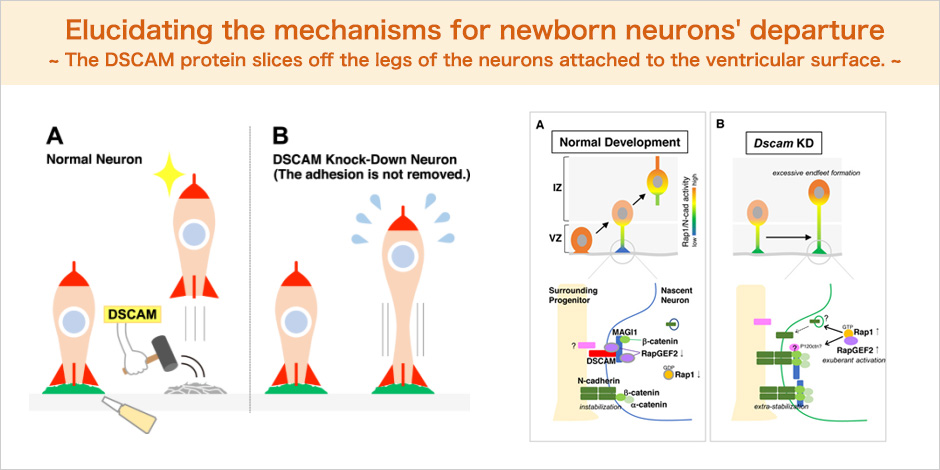 Elucidating the mechanisms for newborn neurons' departure